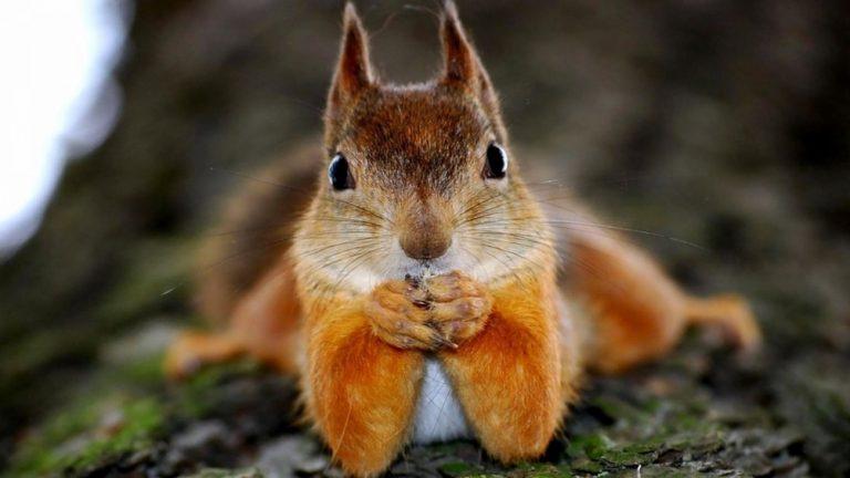 scoiattolo sguardo