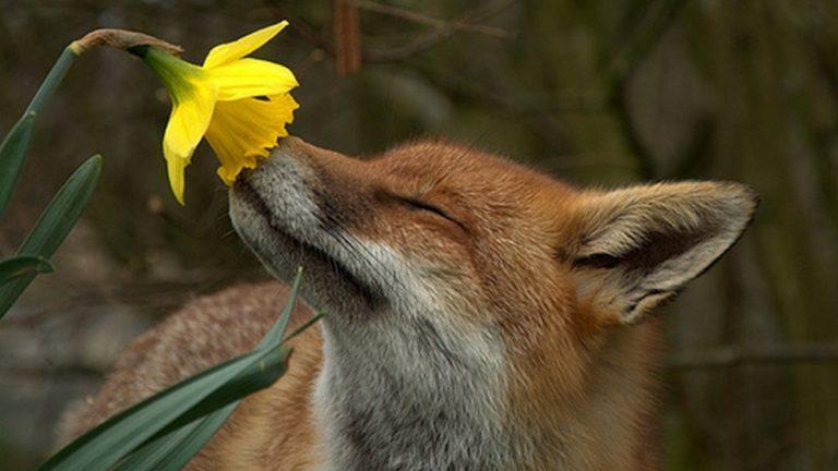 volpe annusa fiore